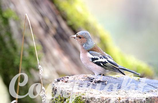 Buchfink-Männchen im Winter