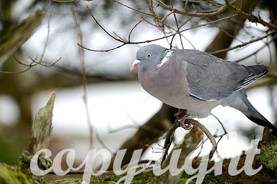 Ringeltaube_im Winter