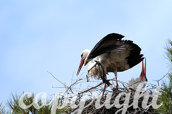 Weißstorch - Ciconia ciconia