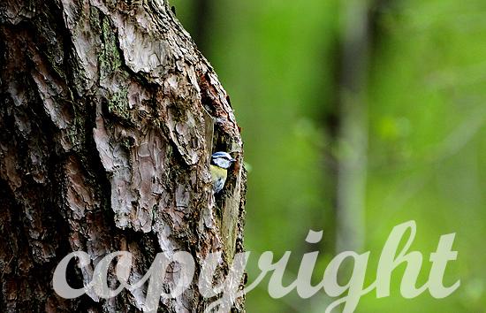 Blaumeise, Cyanistes caeruleus
