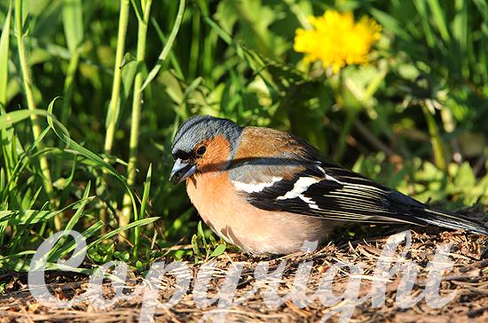Der Buchfink - Fringilla coelebs