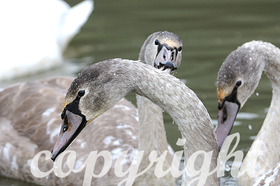 Höckerschwan mit Jungen - Cygnus olor