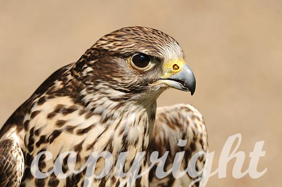 Sakerfalke - Falco cherrug