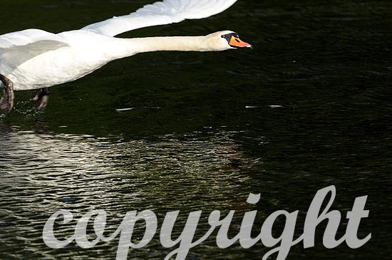 Höckerschwan - Cygnus olor