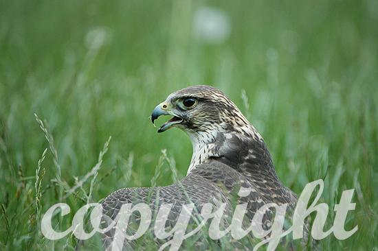 Lannerfalke, Falco biarmicus