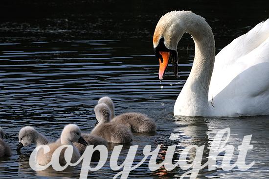 Höckerschwan Anfang Juni mit jungen Schwanenküken