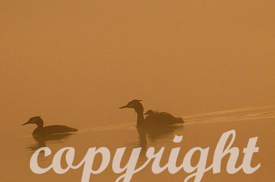 Haubentaucher im Hochsommer im Nebel mit Jungem auf dem Rücken