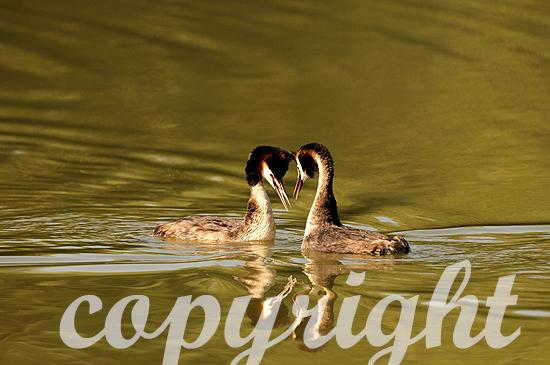 Haubentaucher-Paar bei der Balz im Morgenlicht