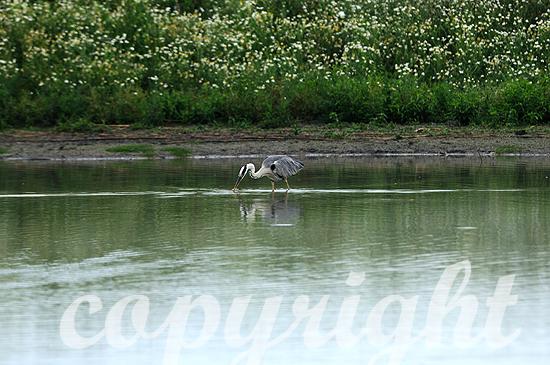 Graureiher in einer Seenlandschaft am Morgen