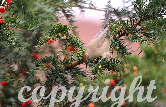 Weibliche Mönchsgrasmücke im Herbst erntet rote Beeren der Eib