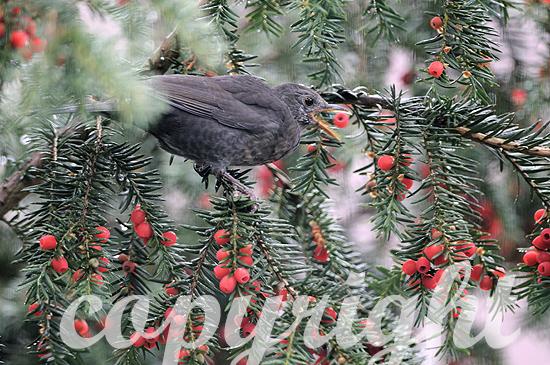 Amsel im Herbst erntet rote Beeren in einer Eibe