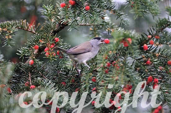 Männliche Mönchsgrasmücke im Herbst erntet rote Beeren der Ei
