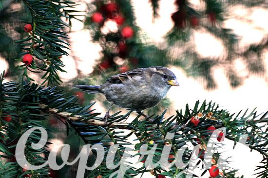 Grünfink sitzt in einer Eibe mit roten Früchten;