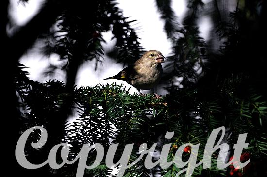 Grünfink sitzt in einer Eibe mit roten Früchten