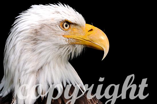 Weißkopfseeadler - Haliaeetus leucocephalus