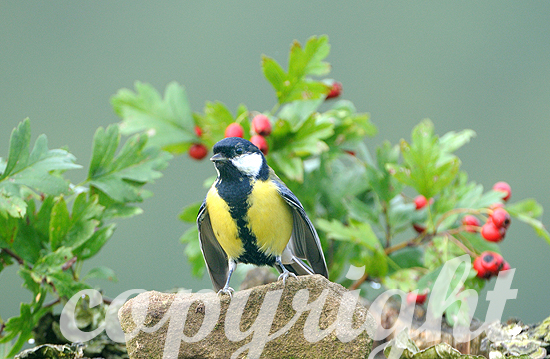 Kohlmeise - Parus major