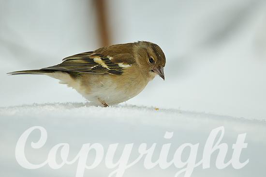 Buchfink-Weibchen im tiefen Schnee