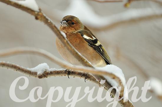 Buchfink-Männchen im tiefen Winter auf Ast sitzend