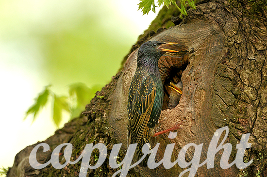 Stare Anfang Mai am Nest beim Füttern