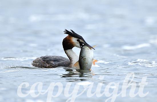 Haubentaucher beim Fischfang mit Fisch