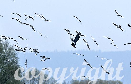 Graureiher wird in der Luft von Lachmöven attackiert