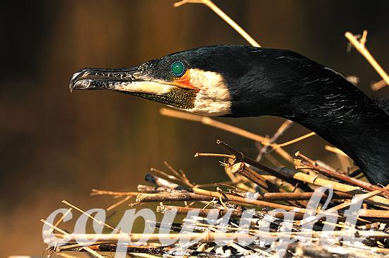 Kormorane auf und am Nest