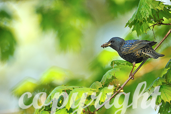 Stare am Nest beim Füttern