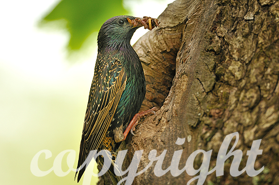 Stare am Nest beim Füttern an einer Spechthöhle