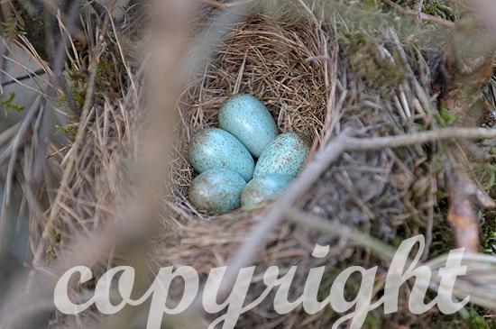 Amsel Eier