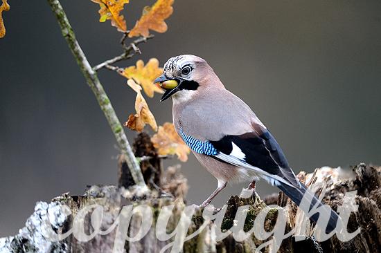 Eichelhäher im Herbst