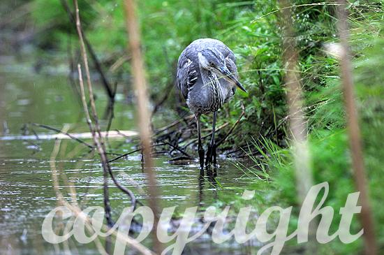 Graureiher am Waldsee