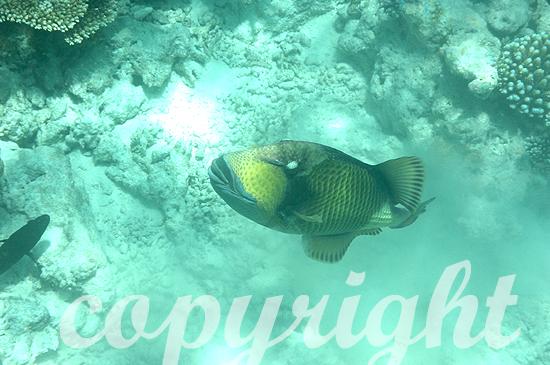 Malediven, Submarine, Grüner Riesen-Drückerfisch, Alistoides v