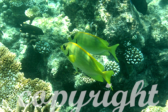 Malediven, Kaninchenfische, Familie Siganidae