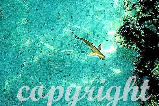 Malediven, Schwarzspitzen-Riffhai