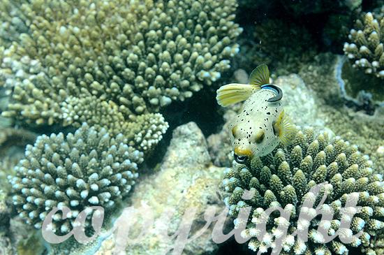 Malediven, Kugelfisch, Familie Arothron