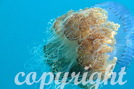 Malediven, Wurzelmundqualle, Crowned Jellyfish, Cephea cephea