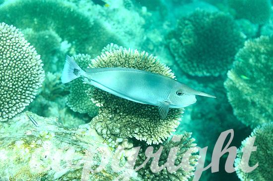 Malediven, Langnasen-Doktorfisch, Naso brevirostris