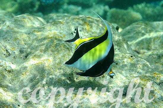 Malediven, Rotmeer-Wimpelfisch, Heniochus intermedius