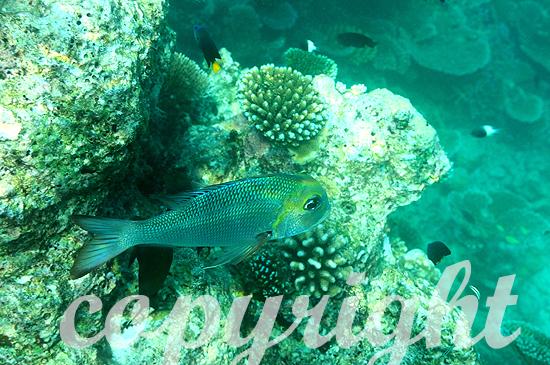Malediven, Kardinalbarsch, Familie Apogon