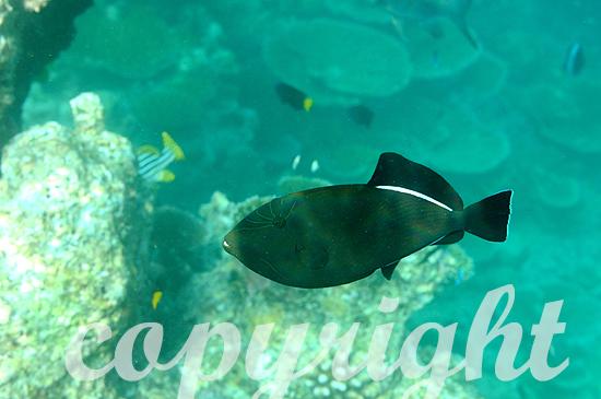 Malediven, Indischer Drückerfisch, Melichthys indicus