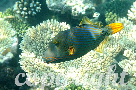 Malediven, Orangestreifen-Drückerfisch, Balistapus undulatus