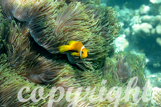 Malediven-Anemonenfisch, Amphiprion nigripes