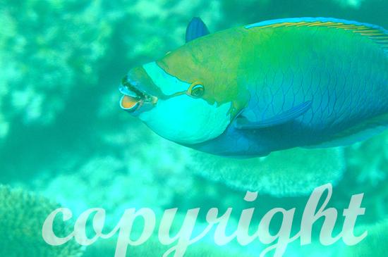 Malediven, Submarine, Papageifische, Scarus