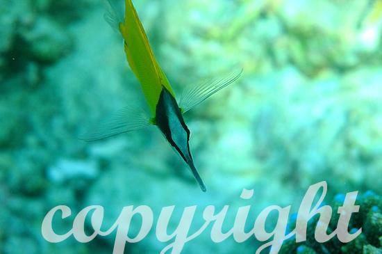 Malediven, Langmaul-Pinzettfisch, Forcipiger longirostris