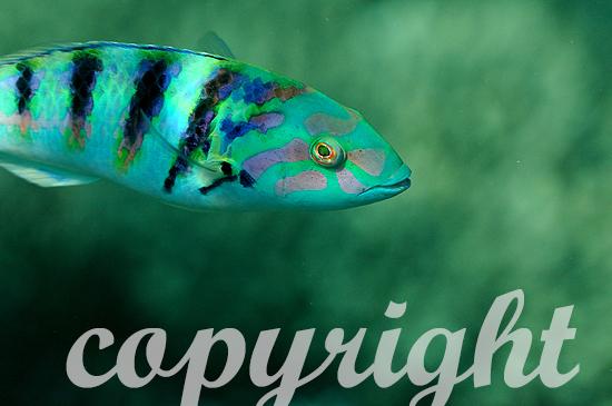 Malediven, Sechsstreifen-Lippfisch, Thalassoma hardwickii