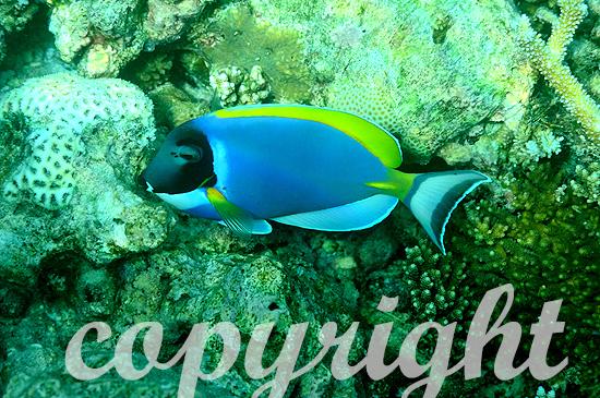 Malediven, Submarine, Weißkehl-Doktorfisch
