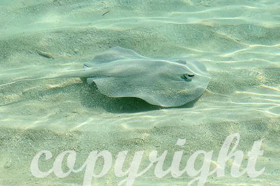 Malediven, Stechrochen, Familie Dasyatidae