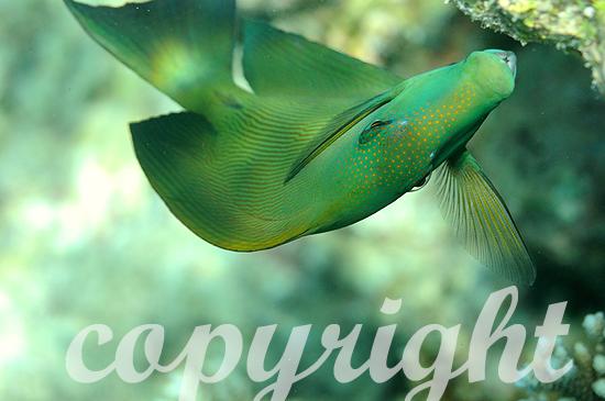 Malediven, Doktorfische, Familie Acanthurus
