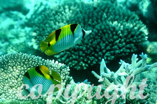 Malediven, Falterfische, Familie Chaetodon