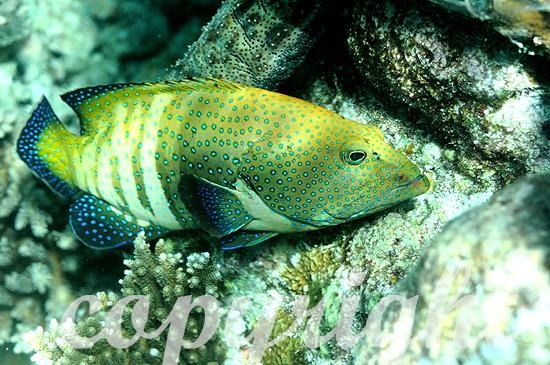 Malediven, Pfauen-Zackenbarsch, Cephalopholis argus